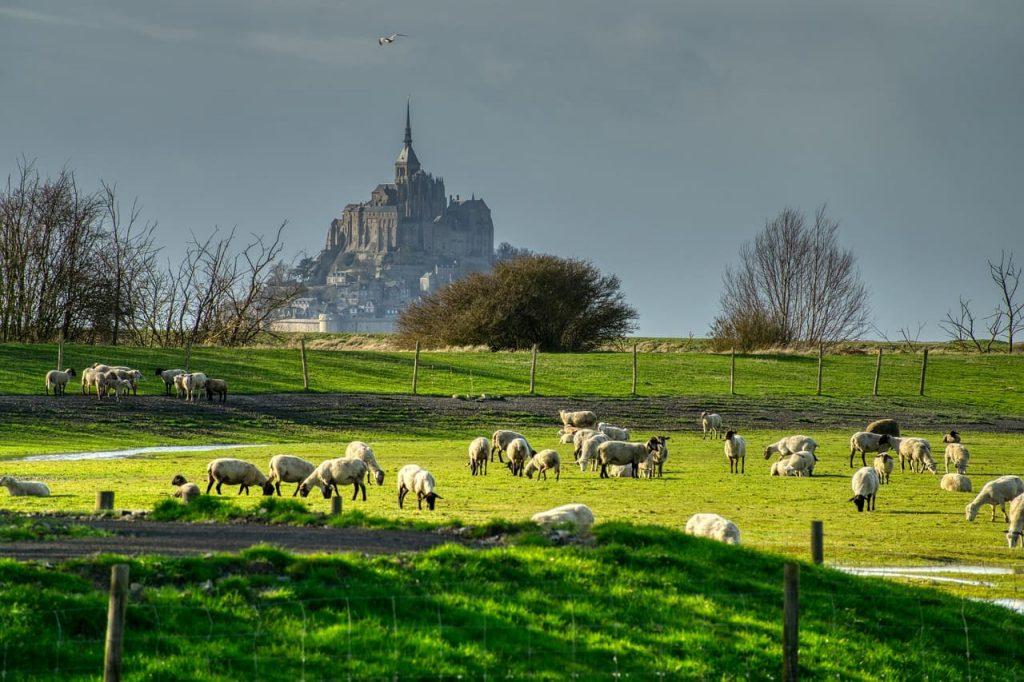 Il particolare sapore delle carni bretoni sta nel fatto che gli animali vengono allevati all'aria aperta, e cresciuti nei pascoli salmastri, come quelli della baia di Mont Saint Michel.