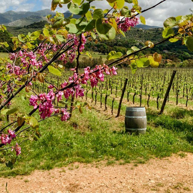 L'azienda agricola Monti Cecubi produce vini biologici ed è un eccellenza del territorio laziale.