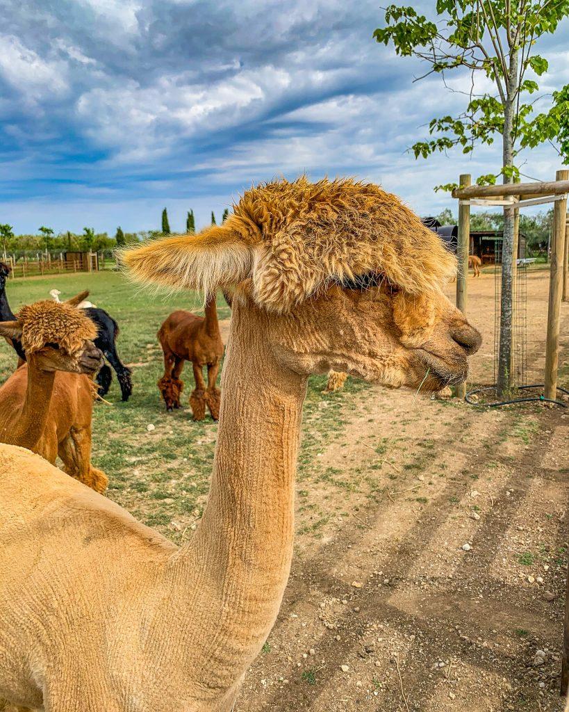 I piani degli alpaca. Attività per famiglie nel Lazio.