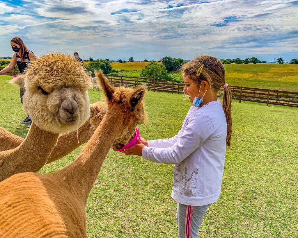 I piani degli alpaca, a Tarquinia, in provincia di Viterbo.